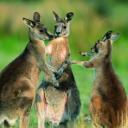 Kangaroo Spirit