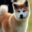 Akita Dog~Japan