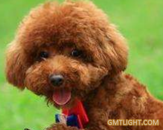 Who Was The Ancestor Of the Poodle or VIP Dogs?