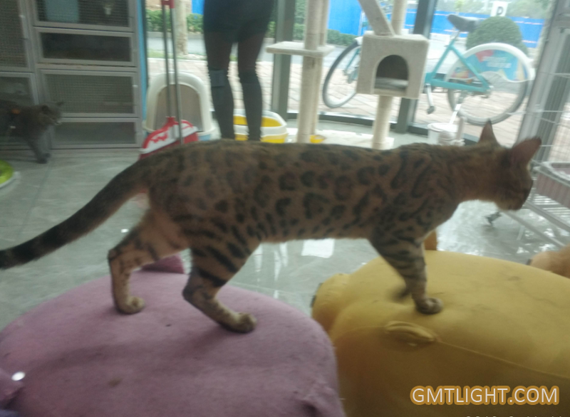The energetic leopard cat changed my view of the lazy cat.