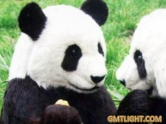Giant pandas brought valuable joy to the British during the War 2