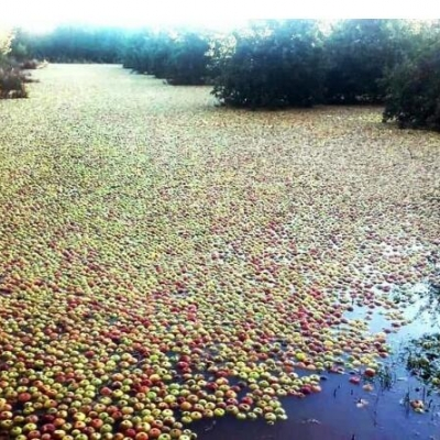 Countless apples were swept into River
