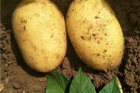 土豆专家赵军:土豆好吃 吃好土豆