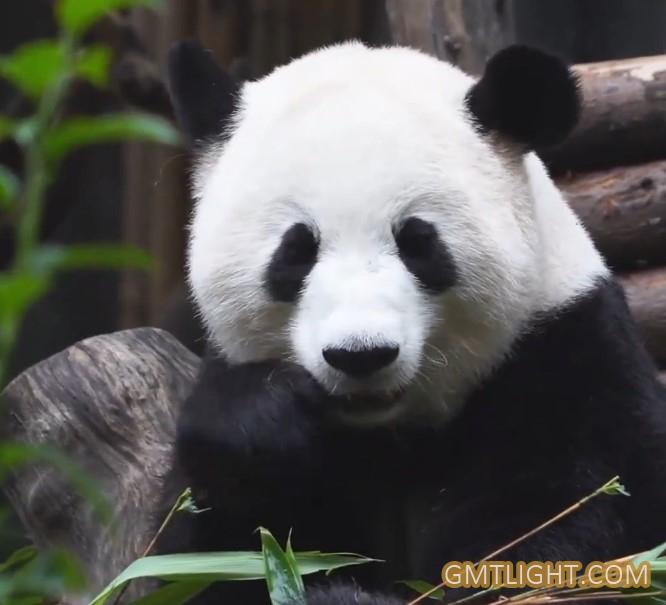 """大熊猫:""""活化石""""和""""中国国宝"""""""
